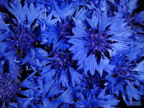 васильково синий
