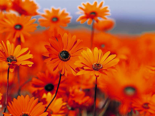красно-оранжевые цветы