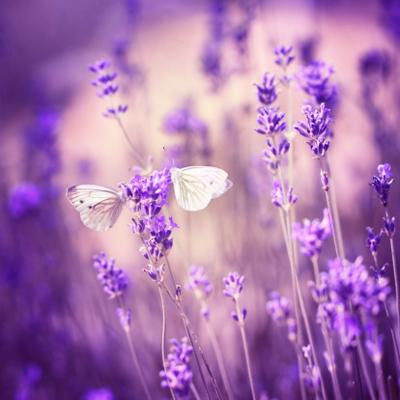 нежно-фиолетовая лаванда