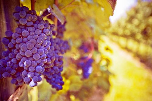 фиолетовый виноград